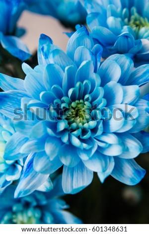 Blue chrysanthemum close-up #601348631