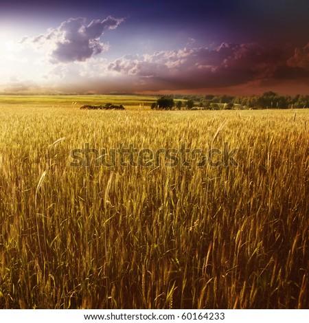 Purple sunset over wheat field. #60164233