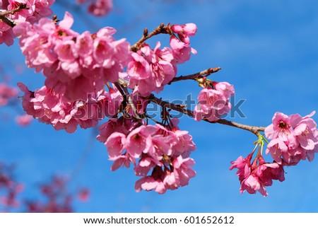 beautiful cherry blossom #601652612