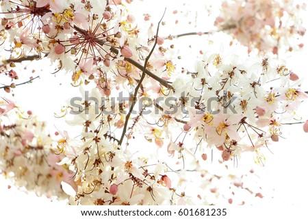 Cassia bakeriana / Kalapapruek or another name. Sakura Thailand #601681235
