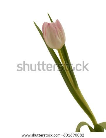 Single rose tulip. Single rose tulip isolated on a white background.