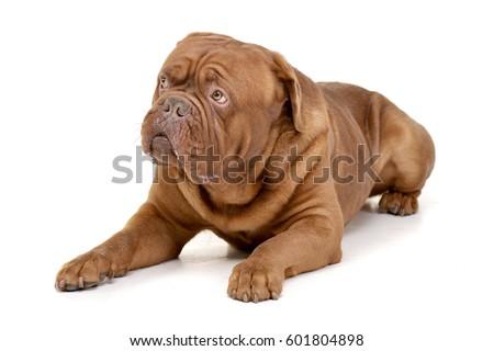 Studio shot of an adorable Dogue de Bordeaux lying on white background. #601804898