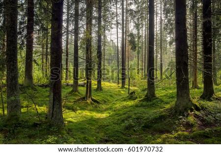 Dark forest background. Karelia forest trees #601970732