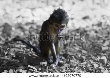 Gabon talapoin (Miopithecus ogouensis) #602070770