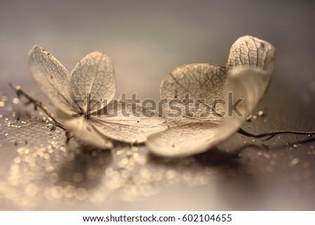Artistic Dry Hydrangea paniculata (Panicle hydrangea) with sparkle