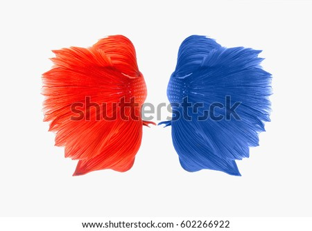 Dual betta fish isolated on white background