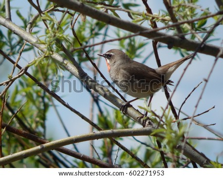 birds of Siberia in the wild  #602271953