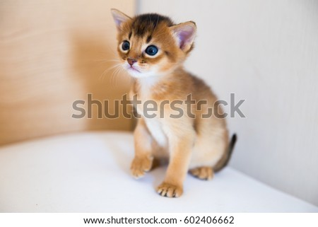 Sitting baby cat / Abyssinian baby cat Royalty-Free Stock Photo #602406662