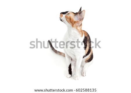 Cornish rex cat raised her head upwards #602588135