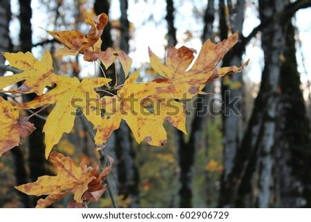 Autumn Leaves #602906729