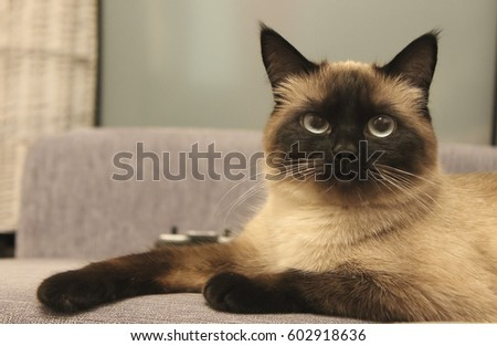 The thai cat is lying on the couch #602918636