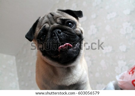 Funny picture of a pug with tongue
