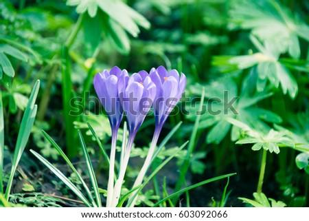 Springtime purple crocuses against green foilage #603092066