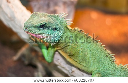 Chinese water dragon (Physignathus cocincinus) is a species of agamid lizard native to China and mainland Southeast Asia. It is also known as Asian water dragon. #603228707