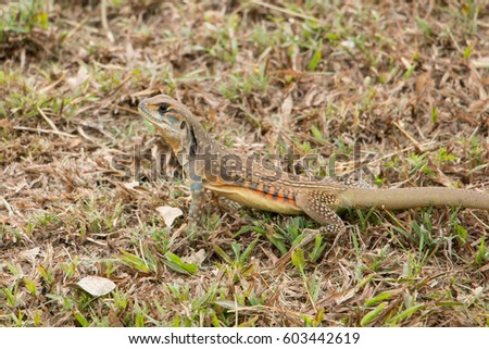 butterfly lizards group of agamid lizards of which very little is known. They are native to  Thailand #603442619