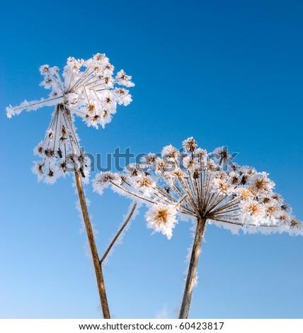 Winter landscape.Frozenned flower Royalty-Free Stock Photo #60423817