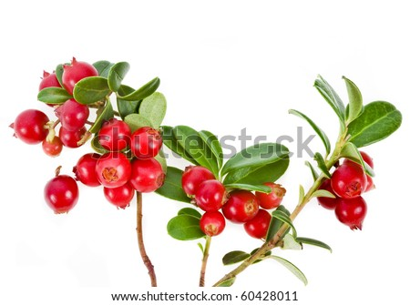 Cowberries plant  isolated on white background   #60428011