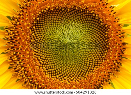 Sunflowers. #604291328