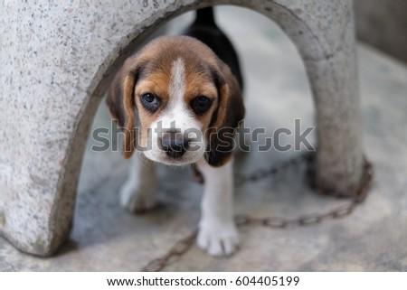 Beagle Puppy #604405199