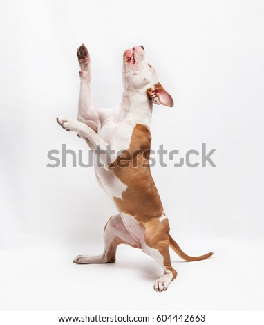american staffordshire terrier dog on white #604442663