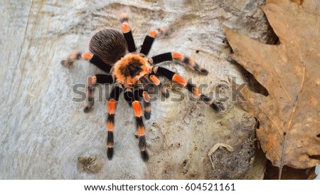 Birdeater tarantula spider Brachypelma smithi in natural forest environment. Bright orange colourful giant arachnid.