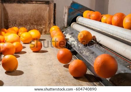 Tarocco orange fruits in a modern roll defoliation machine before the washing bath #604740890