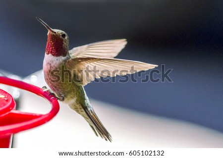 An Anna's Hummingbird on an outdoor feeder with a black and white background. #605102132