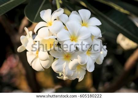 White flower  #605180222