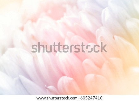 Unfocused blurred chrysanthemum petals, abstract romance background, pastel and soft flower card #605247410