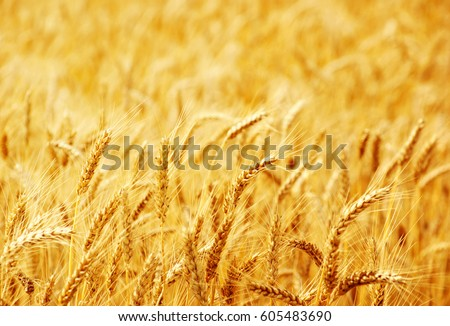 Fields of wheat at the end of summer fully ripe #605483690
