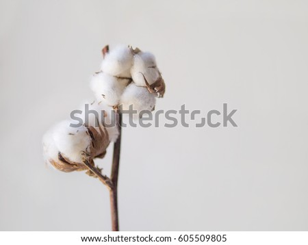 cotton flower on gray wall #605509805