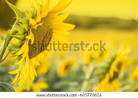Sunflower Field #605770616