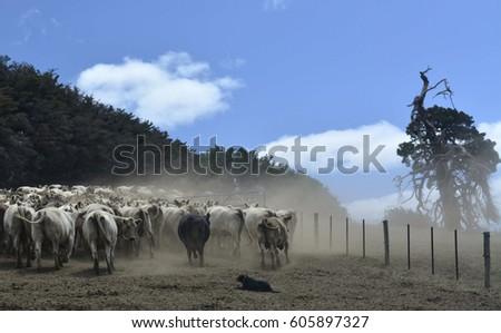 Kelpie Dog Herding cattle on a winding, hot, summer day.   #605897327