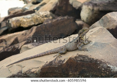 The water dragon on the rocks on the beach in Byron Bay, Australia #605985596