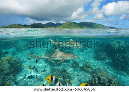 Over under sea surface sharks with tropical fish underwater and island of Huahine, Pacific ocean, French Polynesia #606045056
