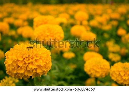 Marigold  #606074669