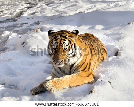 The Amur tiger lies on snow in the sunny day #606373001