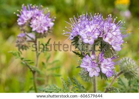 Close up of Lacy Phacelia (Phacelia cryptantha) wild flowers, California #606579644
