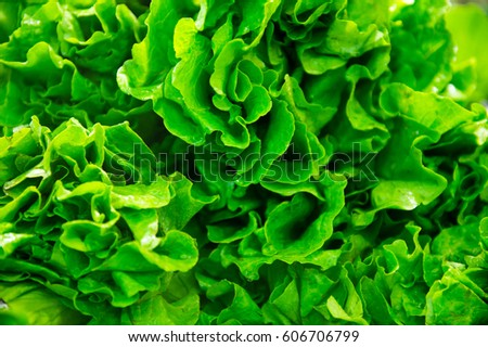 fresh green lettuce close up. #606706799