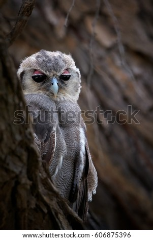 Close up, vertical photo of wild Verreaux's Eagle-owl or Giant Eagle-owl, Bubo lacteus, perched on branch, partly hiding behind trunk and staring at camera. Wildlife photography in Kalahari desert.