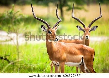 Antelope impala in nature Uganda. Antelop animal portrait Royalty-Free Stock Photo #606997652
