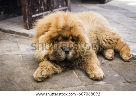 Red chow chow dog on a stone floor background #607068092