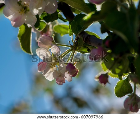 Apricot tree flower, seasonal floral nature background, shallow depth of field #607097966