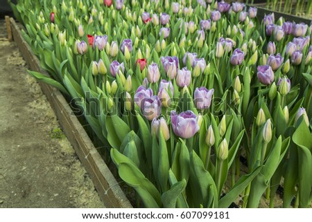 beautiful colorful tulips in the garden. it is possible to use for postcards #607099181