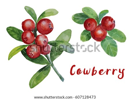 Red cowberries watercolor painting  #607128473