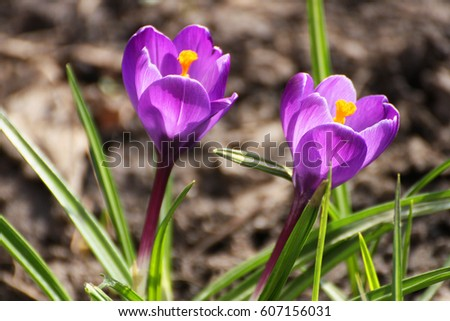 Spring flowers. Early flowering spring crocuses growing in the wild. Purple crocuses have sprouted on the ground and blossomed.
