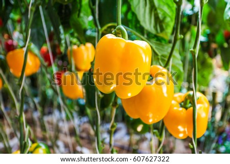 Bell pepper.Yellow, Green and red bell pepper growing in the organic farm #607627322