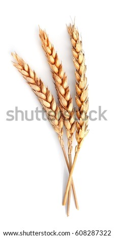 Wheat isolated on white close up. #608287322