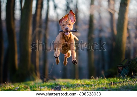 Flying Hungarian pointer hound dog Royalty-Free Stock Photo #608528033