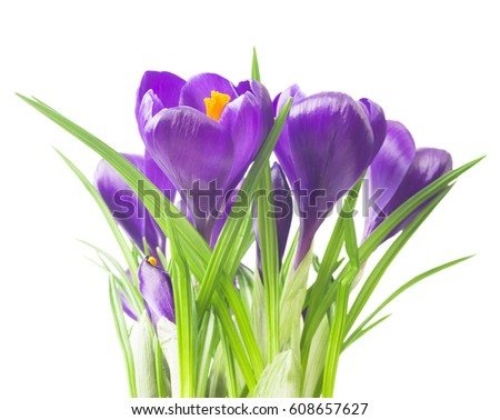beautiful crocus on white background - fresh spring flowers. Violet crocus flowers bouquet . (selective focus) #608657627